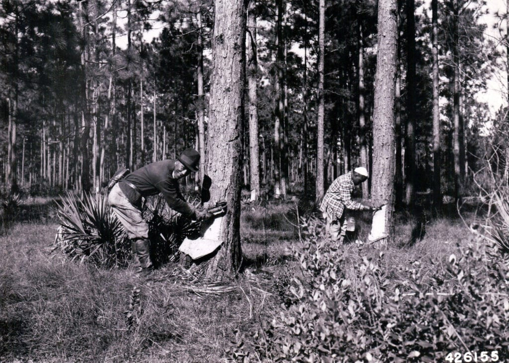 Chemical stimulation to gum yield - chipper and acid application at Olustee, Florida. October, 1942. Photo by C. S. Shopmeyer, U.S. Forest Service.