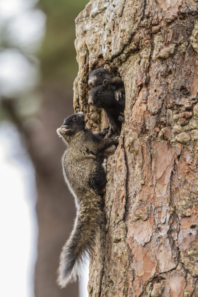 The eastern fox squirrel's large size allows it to consume unopened longleaf cones. Photo by Brady Beck.
