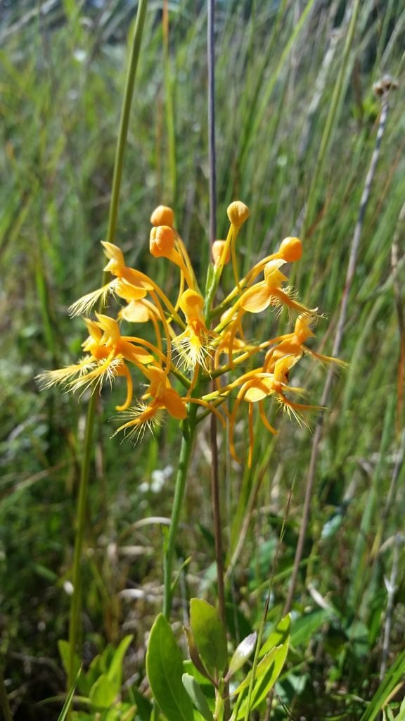 The beautiful oranged-fringed orchid is often found in longleaf sandhills. Photo by Carol Denhof.