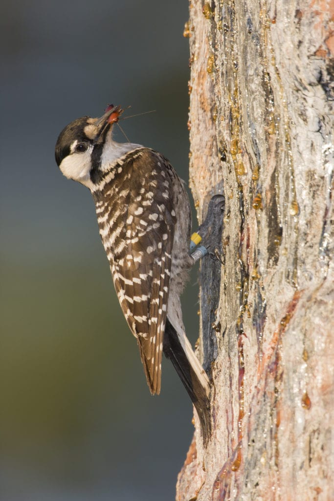Longleaf pine savannas provide ideal habitat for the endangered red-cockaded woodpecker. Photo by Brady Beck.