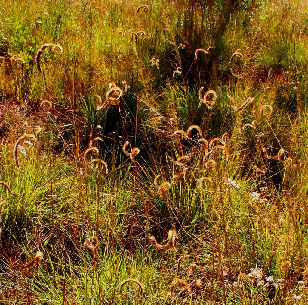 Toothache grass gets its common name from the fact that it makes your mouth numb if chewed. Photo by Randy Tate.