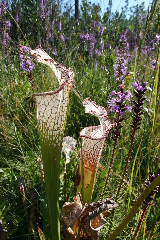 The white-topped pitcher plant is endemic to the Southeast and found in wetlands embedded in longleaf forests. Behind it is Liatris spicata. Photo by JJ Bachant.