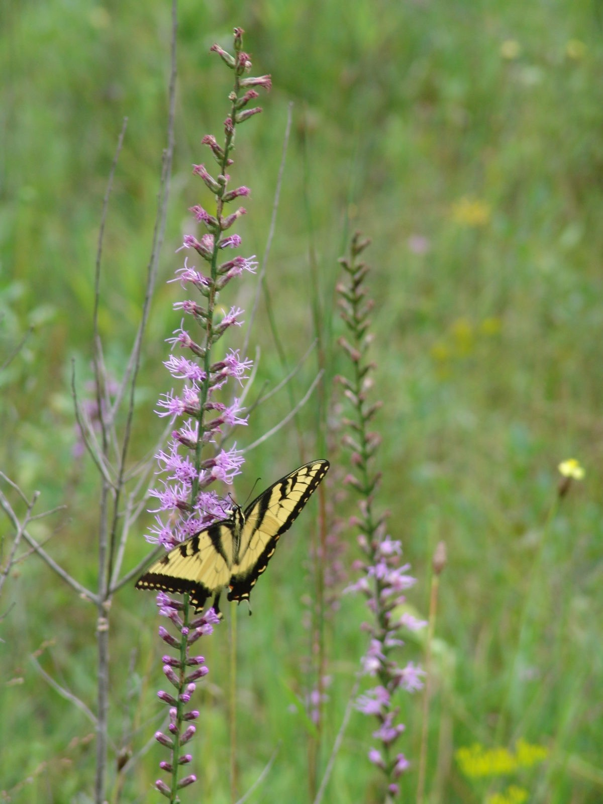 A tiger swallowtail resting on a blazing star. Photo by Carol Denhof.