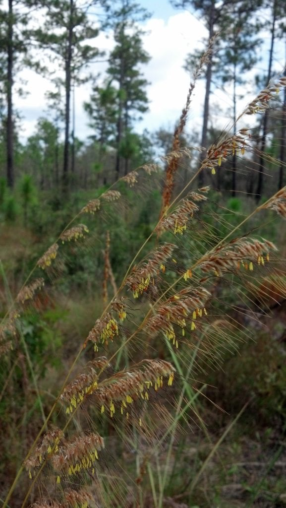 Lopsided-indiangrass is one of several native bunchgrasses found in longleaf habitats. Photo by Carol Denhof.