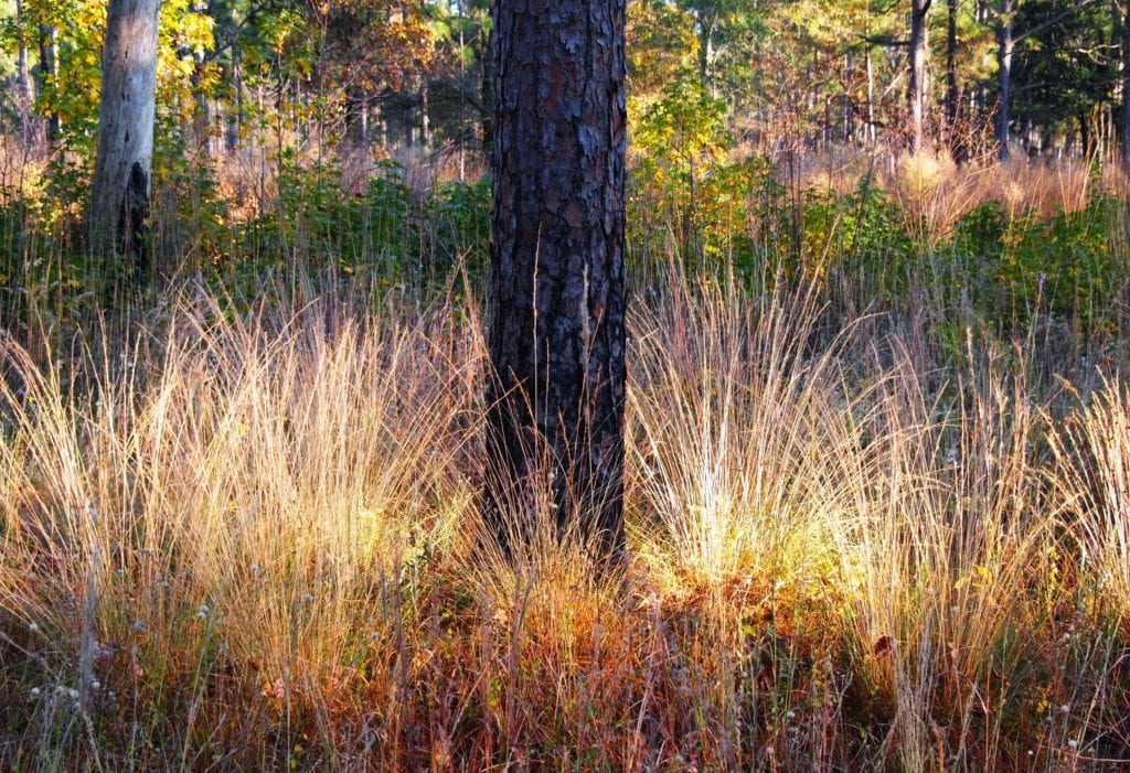 Wiregrass is an essential component to the understory in much of the range of longleaf and provides fuel to help carry fire. Photo by Randy Tate.