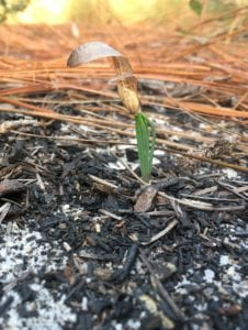 Fire prepares the seed bed for increased chance of survival for longleaf pine germinants. Photo by Sarah Crate.