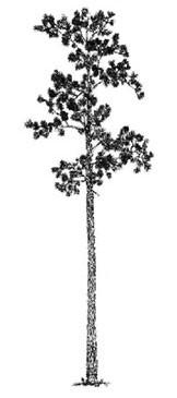 maturetree